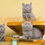 Британские  голубые плюшевые котята-медвежата