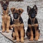 Продаём щенков для дома